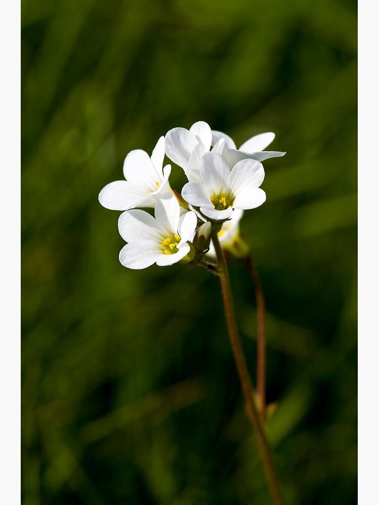 Meadow Saxifrage (Saxifraga granulata) by SteveChilton