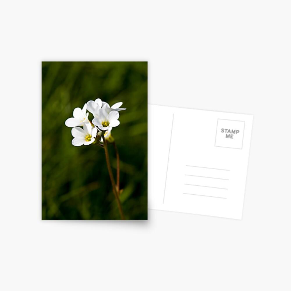 Meadow Saxifrage (Saxifraga granulata) Postcard