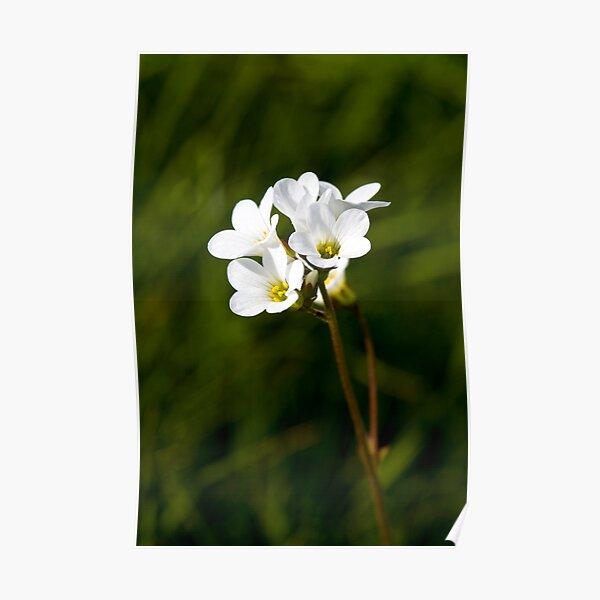 Meadow Saxifrage (Saxifraga granulata) Poster