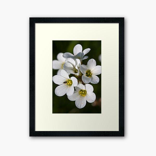 Meadow Saxifrage (Saxifraga granulata)  Framed Art Print