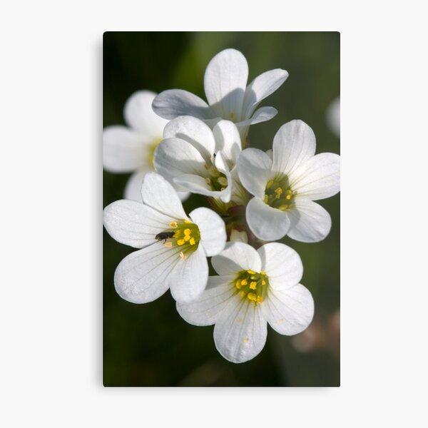 Meadow Saxifrage (Saxifraga granulata)  Metal Print