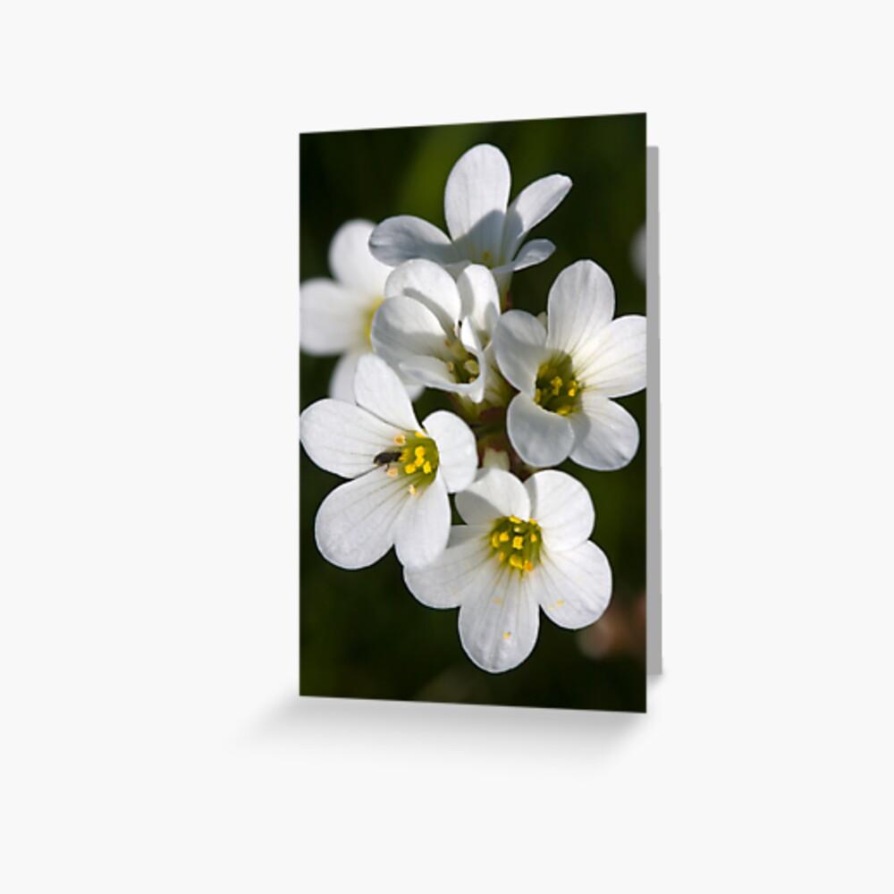 Meadow Saxifrage (Saxifraga granulata)  Greeting Card