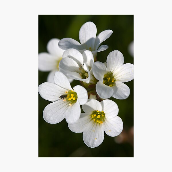 Meadow Saxifrage (Saxifraga granulata)  Photographic Print