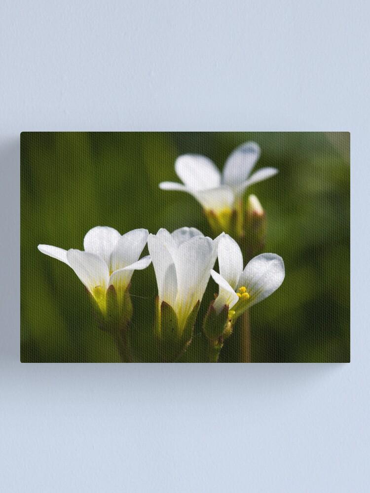 Alternate view of Meadow Saxifrage (Saxifraga granulata)  Canvas Print
