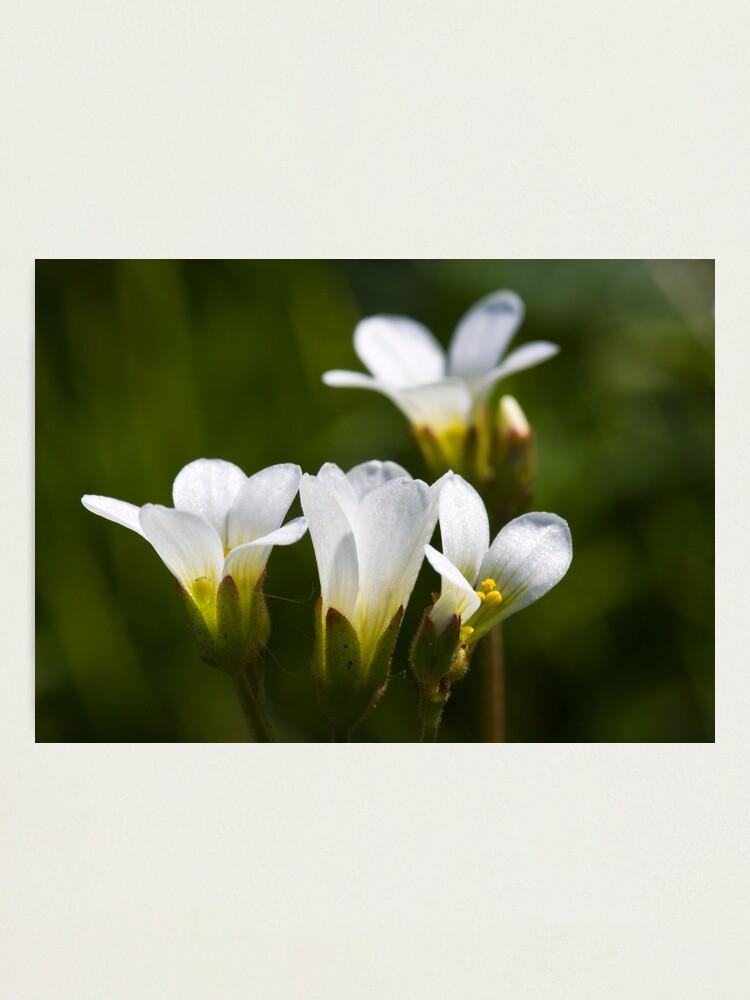 Alternate view of Meadow Saxifrage (Saxifraga granulata)  Photographic Print