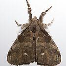 Pine Tussock Moth by DigitallyStill