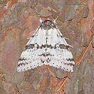 The White Underwing Moth  by DigitallyStill