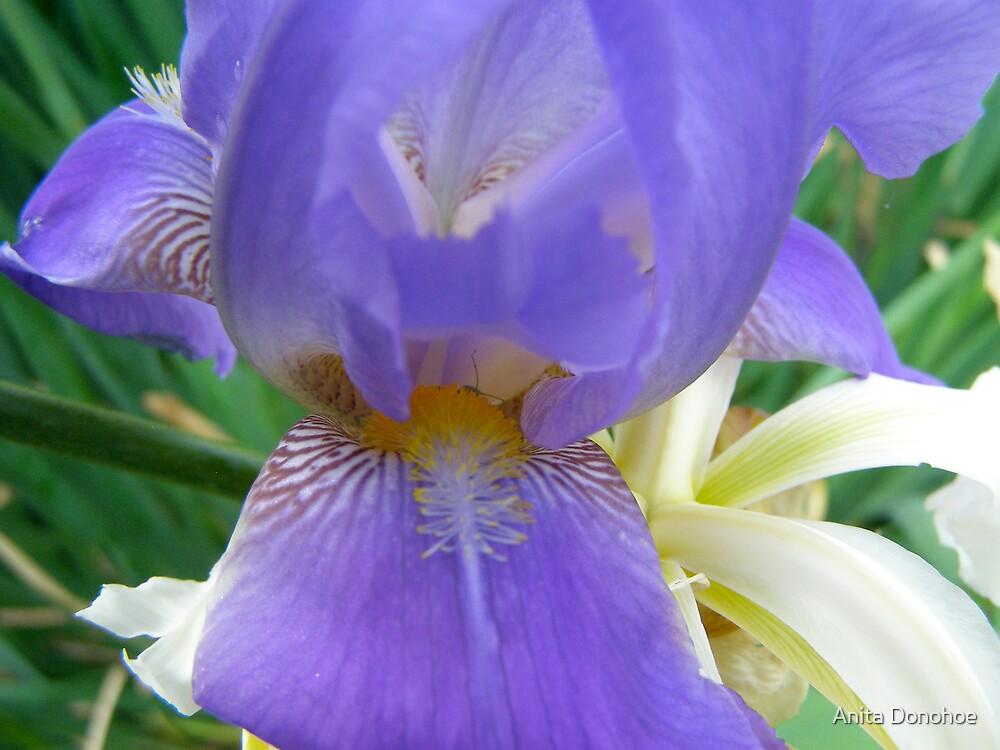 Blue Iris by Anita Donohoe