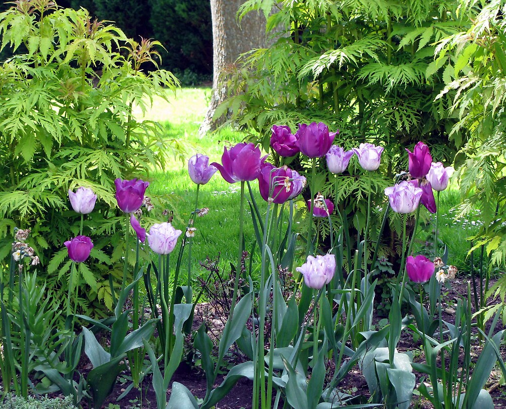 A cluster of tulips by Caroline Anderson