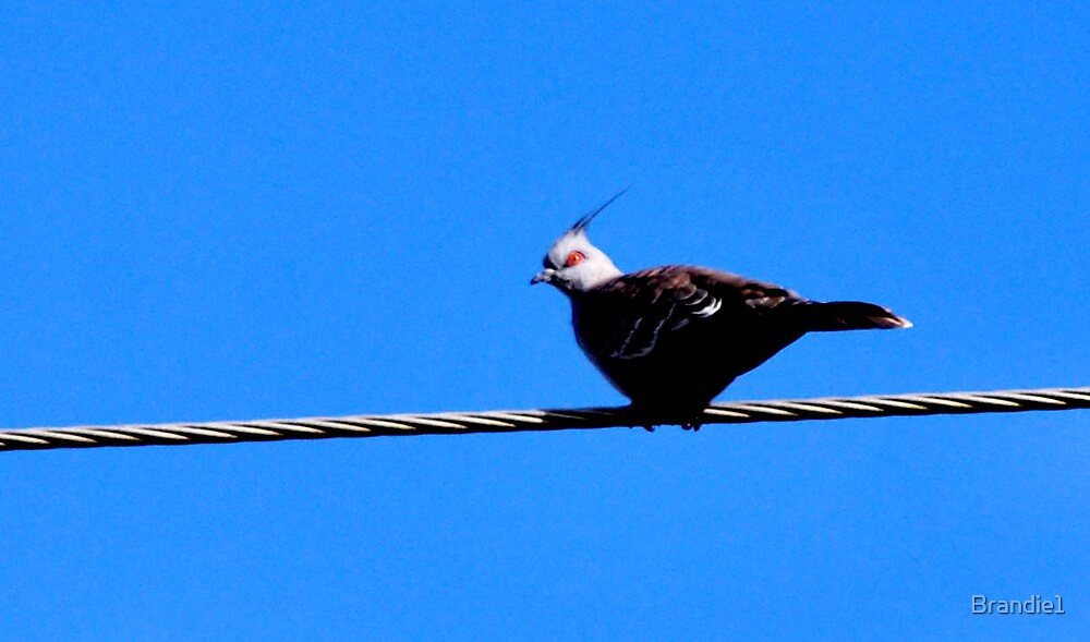 One Lone Dove by Brandie1