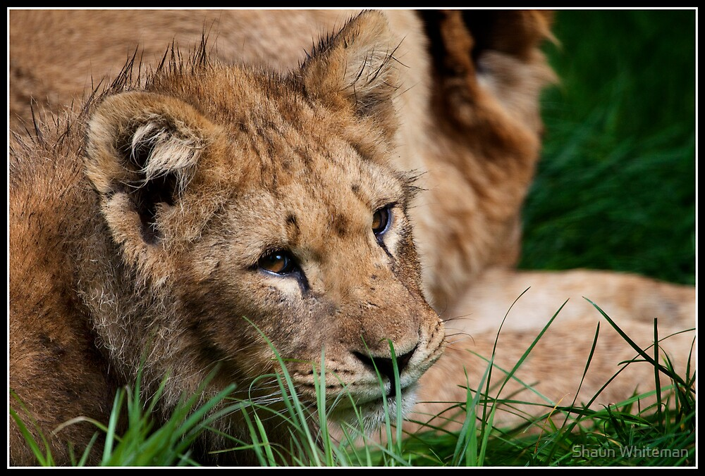 Lion cub by Shaun Whiteman