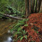 Sequoia's in Aus by David  Hibberd