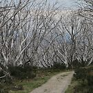 snow gum pathway by ladiluck