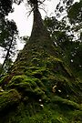 The Tallest Trees & Greenest Moss by Robert Mullner