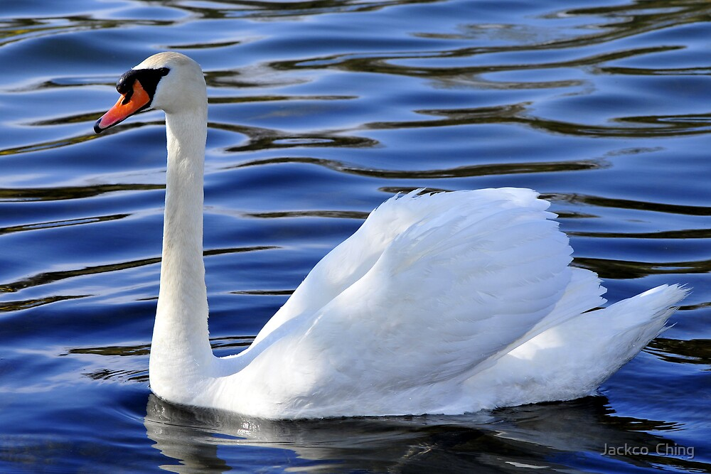 Swan by jackco ching