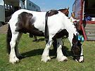 A gypsy vanner by LoneAngel