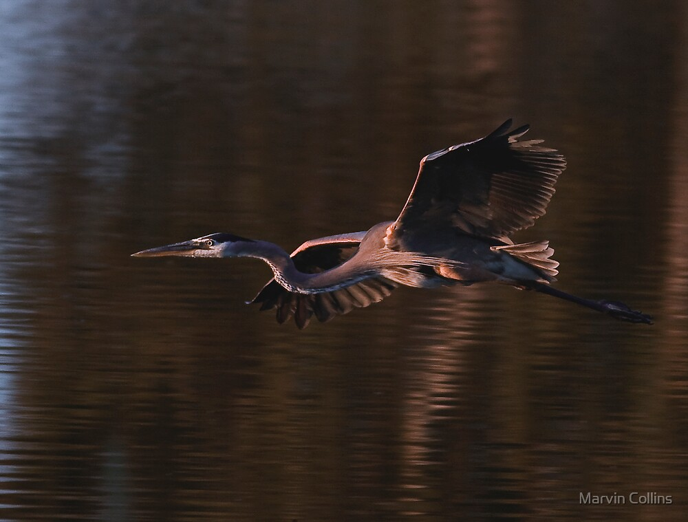 051809 Great Blue Heron by Marvin Collins