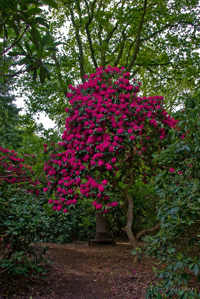 Rhododendron by Trevor Kersley