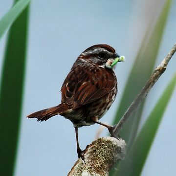 #1360 - Song Sparrow With Green Worm by MyInnereyeMike