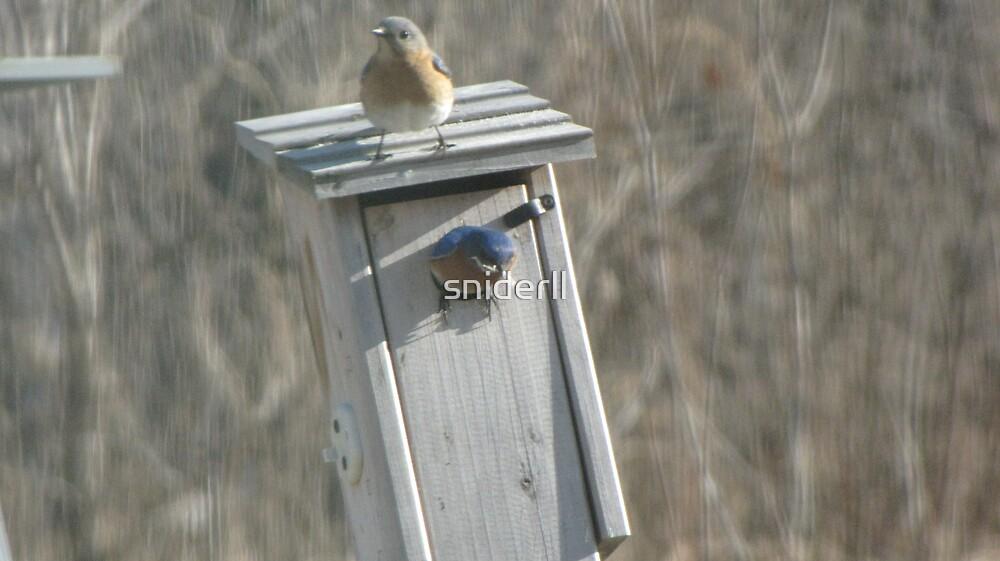 Eastern Bluebird by sniderll