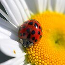 Ladybug on the daisy by aussiedi
