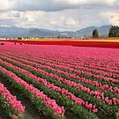 Tulip Fields II by Tracy Friesen