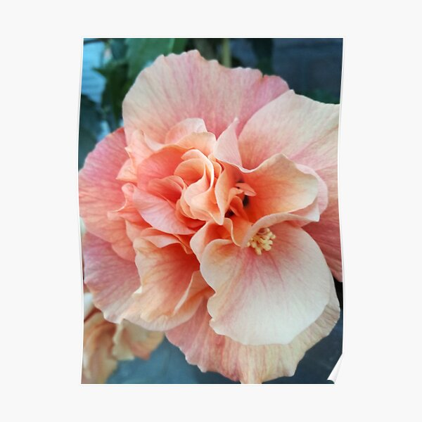 Salmon color Hibiscus flower Poster