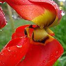 Tulip by Maureen Kay