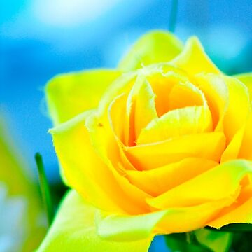 Yellow Rose by johandahlberg