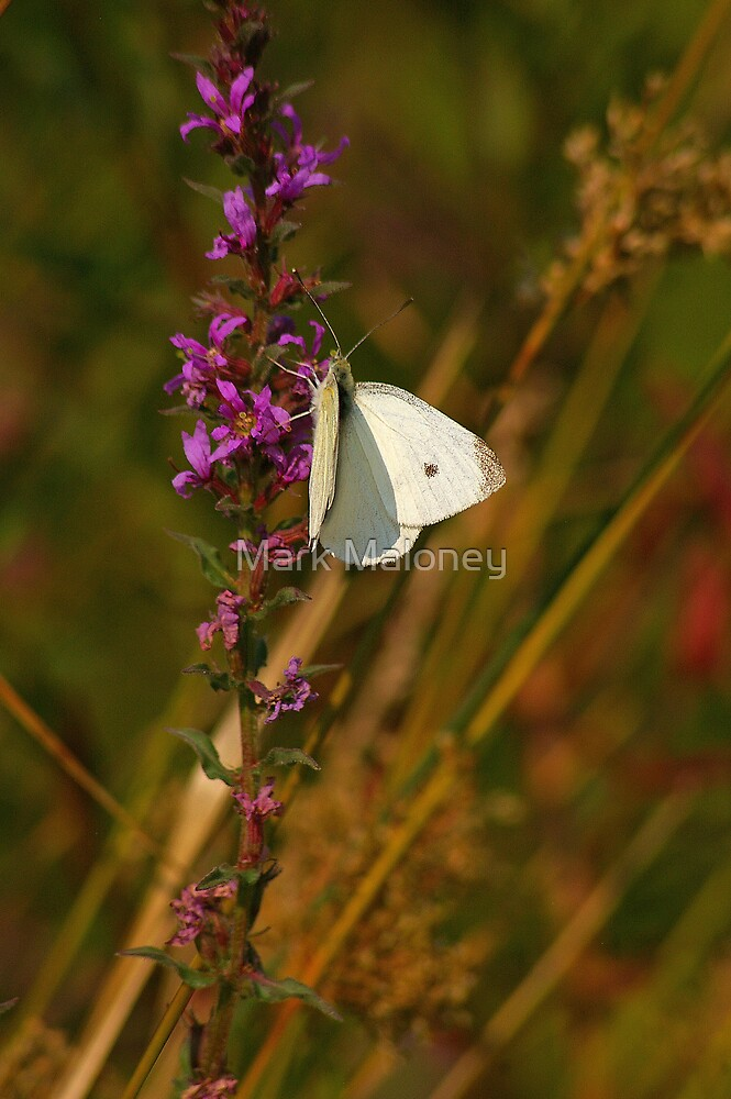 Cabbage Moth by Mark Maloney