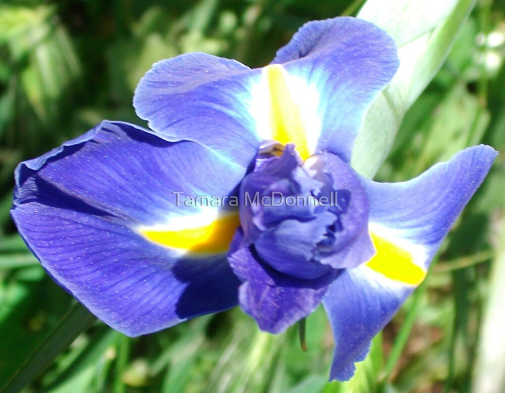 Dutch Iris by Tamara Lindsey