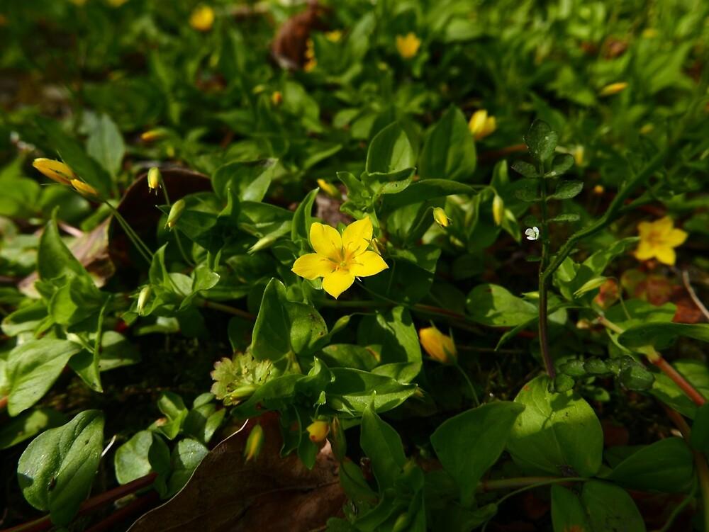 Gelber Pimpernel (Lysimachia nemorum) von IOMWildFlowers