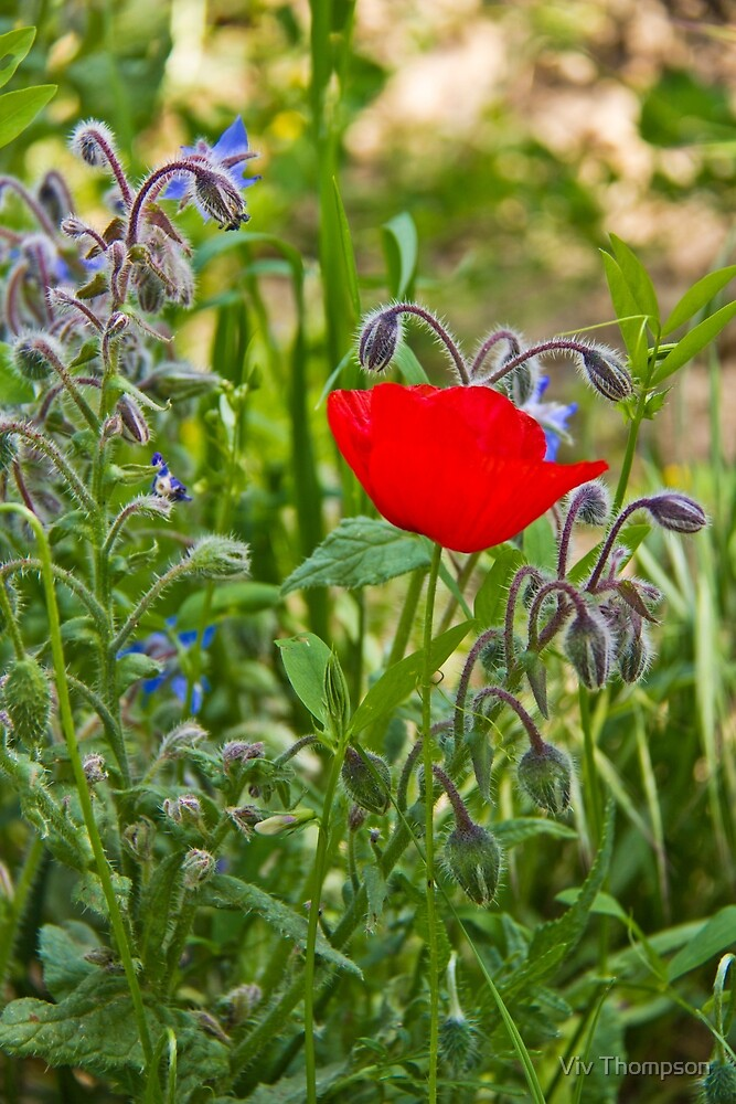 Poppy & Borage by Viv Thompson