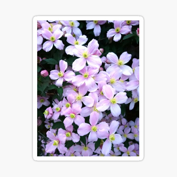 Pink clematis flowers Sticker