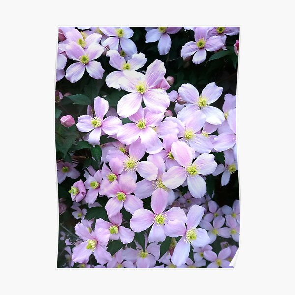 Pink clematis flowers Poster