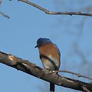 Bluebird in tree by Linda Snider by sniderll