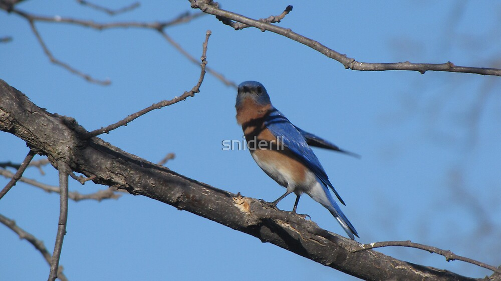 Bluebird on branch of tree by Linda Snider by sniderll