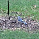 Bluejay by Linda Snider by sniderll