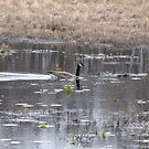 Candian Goose on a pond by Linda Snider by sniderll