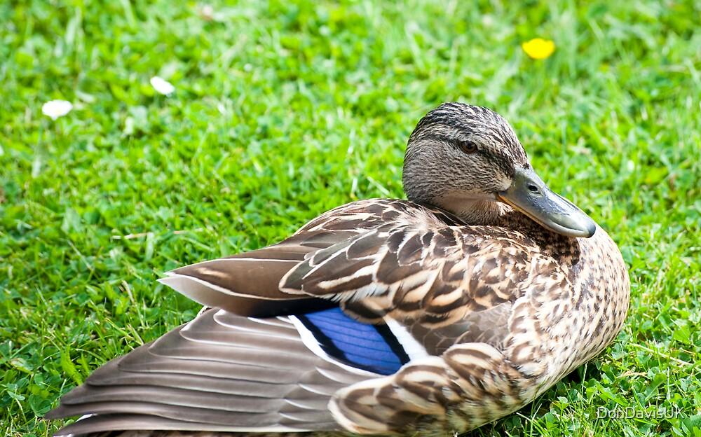 Cute Duck #2 of 3 by DonDavisUK