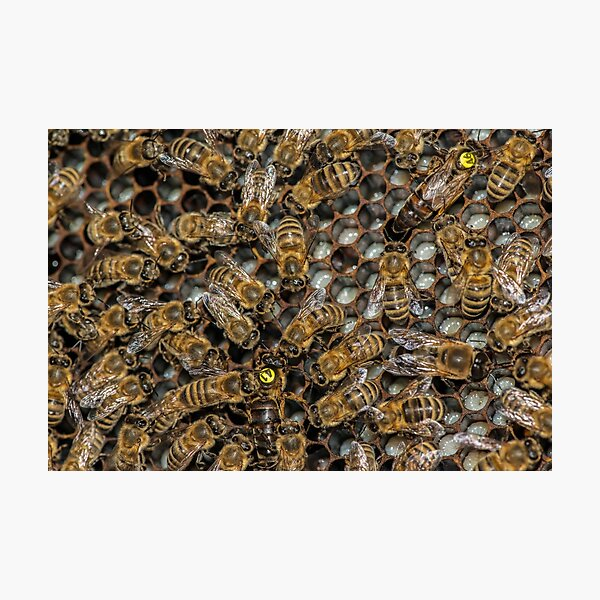 Two Queens in one Hive? Photographic Print