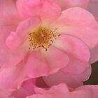 Pink Rose by CarolM