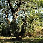 Oak Tree in a quiet English Wood. by Billlee