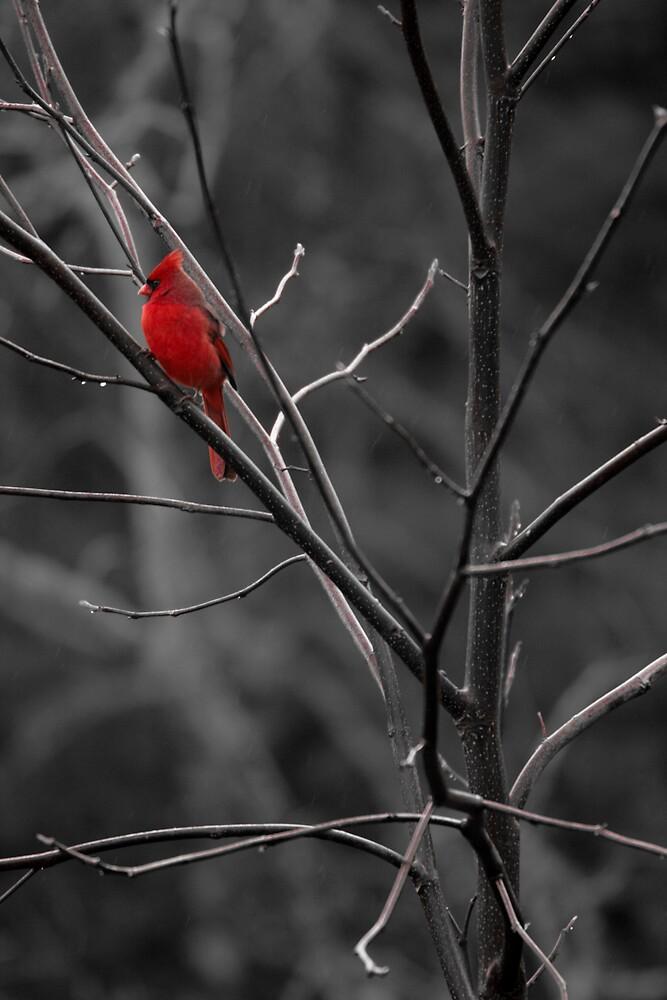 Beautiful Cardinal by Karen Kaleta