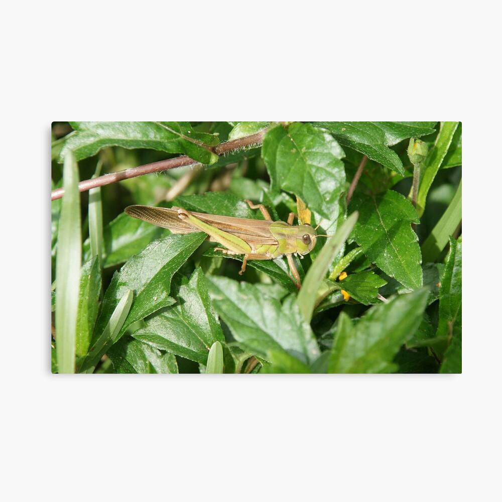 Camouflage Grasshopper Canvas Print