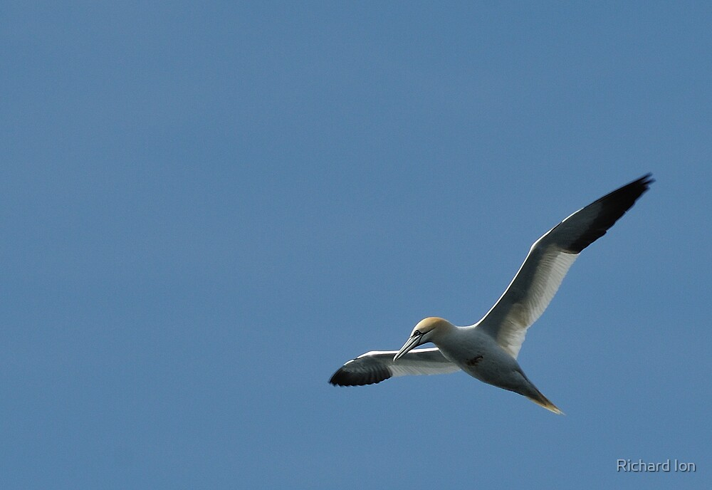 Gannet by Richard Ion