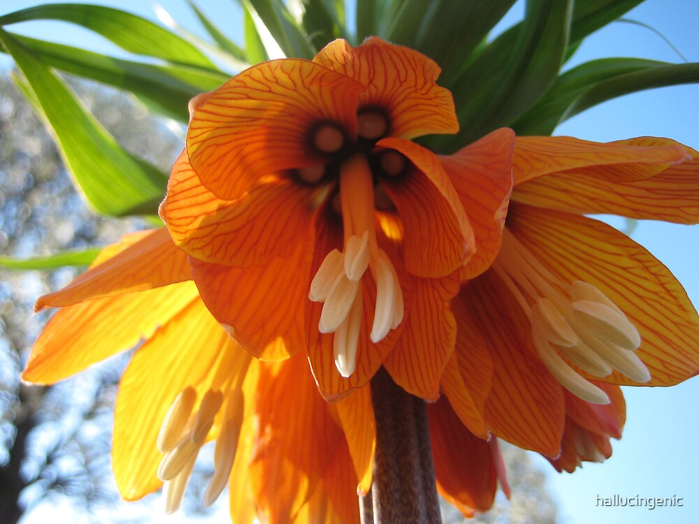 Name this Flower! - Crown Imperial (Thanks Gracey!) by hallucingenic