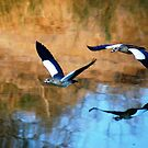 MIRROR REFLECTION OF THE EGYPTIAN GOOSE - Alopochen aegyptiacus by Magriet Meintjes