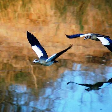 MIRROR REFLECTION OF THE EGYPTIAN GOOSE - Alopochen aegyptiacus by mags