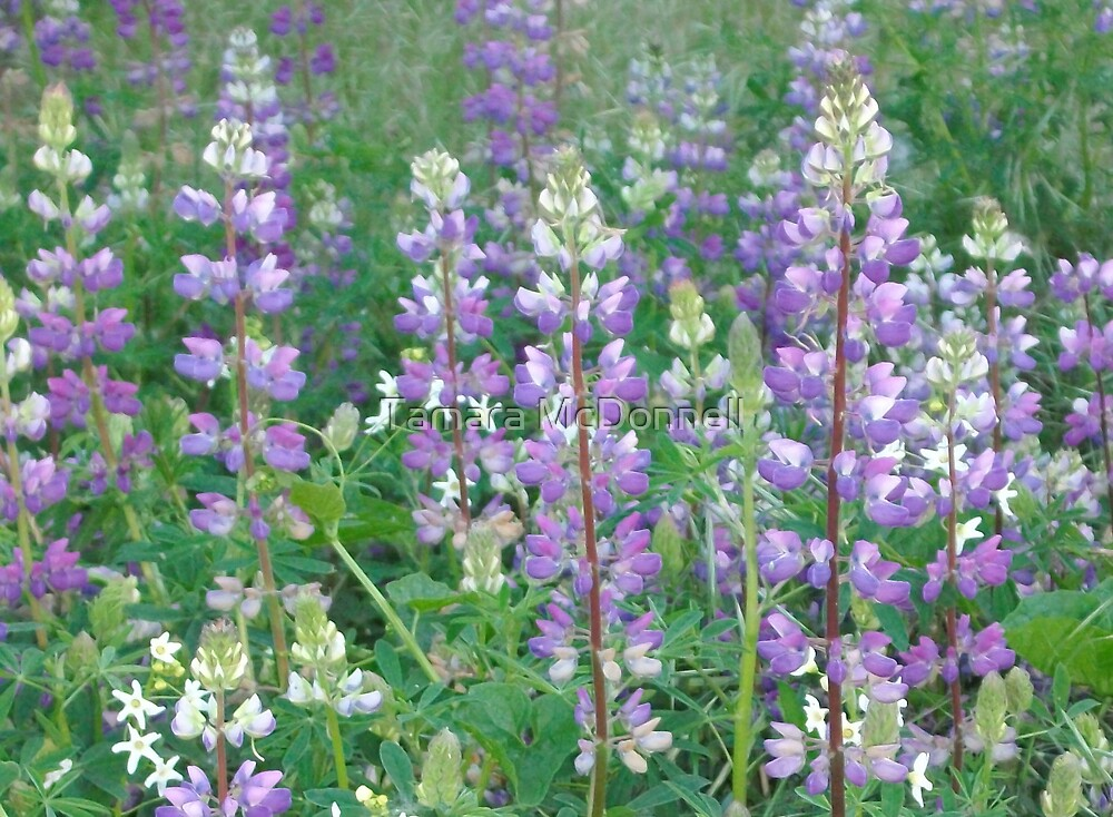 Purple fields 2 by Tamara Lindsey